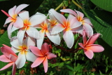 SINGAPORE, Gardens by the Bay, Frangipani (Plumeria) flowers, SIN907JPL