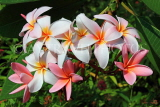 SINGAPORE, Gardens by the Bay, Frangipani (Plumeria) flowers, SIN908JPL