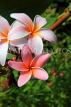 SINGAPORE, Gardens by the Bay, Frangipani (Plumeria) flowers, SIN909JPL