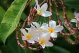 SINGAPORE, Gardens by the Bay, Frangipani (Plumeria) flowers, SIN911JPL