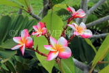 SINGAPORE, Gardens by the Bay, Frangipani (Plumeria) flowers, SIN912JPL
