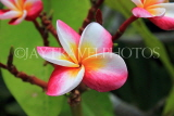 SINGAPORE, Gardens by the Bay, Frangipani (Plumeria) flowers, SIN913JPL