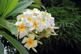 SINGAPORE, Gardens by the Bay, Frangipani (Plumeria) flowers, SIN915JPL