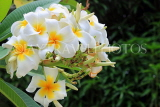 SINGAPORE, Gardens by the Bay, Frangipani (Plumeria) flowers, SIN916JPL