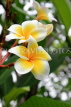 SINGAPORE, Gardens by the Bay, Frangipani (Plumeria) flowers, SIN918JPL