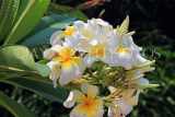 SINGAPORE, Gardens by the Bay, Frangipani (Plumeria) flowers, SIN927JPL