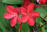 SINGAPORE, Gardens by the Bay, Frangipani (Plumeria) flowers, deep red, SIN894JPL