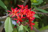 SINGAPORE, Gardens by the Bay, Frangipani (Plumeria) flowers, red, SIN910JPL