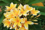 SINGAPORE, Gardens by the Bay, Frangipani (Plumeria) flowers, yellow, SIN900JPL