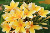 SINGAPORE, Gardens by the Bay, Frangipani (Plumeria) flowers, yellow, SIN901JPL