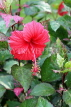 SINGAPORE, Gardens by the Bay, Hibiscus flower, deep pink, SIN899JPL