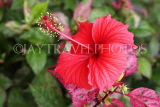 SINGAPORE, Gardens by the Bay, Hibiscus flower, red, SIN903JPL