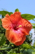 SINGAPORE, Gardens by the Bay, Hibiscus flower, red, SIN906JPL