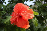 SINGAPORE, Gardens by the Bay, Hibiscus flower, red, SIN928JPL