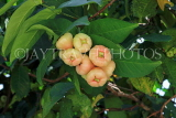 SINGAPORE, Gardens by the Bay, Jambu (Rose Apple) fruit tree, SIN925JPL