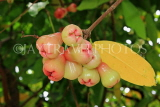 SINGAPORE, Gardens by the Bay, Jambu (Rose Apple) fruit tree, SIN926JPL