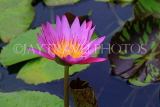 SINGAPORE, Gardens by the Bay, Water Lily Pond, Water Lily, SIN500JPL