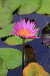 SINGAPORE, Gardens by the Bay, Water Lily Pond, Water Lily, SIN501JPL