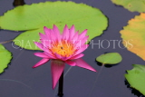SINGAPORE, Gardens by the Bay, Water Lily Pond, Water Lily, SIN503JPL