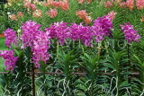 SINGAPORE, Mandai Orchid Gardens, Spray Orchids, SIN335JPL