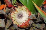 SOUTH AFRICA, Cape Town, Protea flower, SA1352JPL