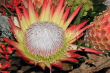 SOUTH AFRICA, Protea flower, SA1358JPL