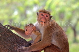 SRI LANKA, Anuradhapura, Macaque Monkey and young, SLK5657JPL