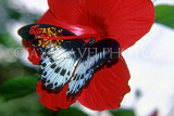 SRI LANKA, Blue Mormon Butterfly, on Hibiscus flower, SLK2172JPL