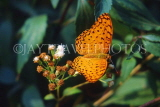 SRI LANKA, Common Leopard Butterfly, SLK2174JPL