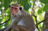 SRI LANKA, Dambulla Cave Temple (Golden Temple), Macaque Monkey at site, SLK2851JPL