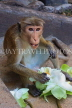 SRI LANKA, Dambulla Cave Temple (Golden Temple), Macaque Monkey eating flower offerings, SLK2810JPL