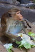 SRI LANKA, Dambulla Cave Temple (Golden Temple), Macaque Monkey eating flower offerings, SLK2811JPL