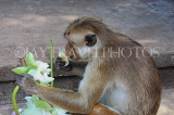 SRI LANKA, Dambulla Cave Temple (Golden Temple), Macaque Monkey eating flower offerings, SLK2812JPL