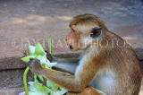 SRI LANKA, Dambulla Cave Temple (Golden Temple), Macaque Monkey eating flower offerings, SLK2813JPL