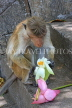 SRI LANKA, Dambulla Cave Temple (Golden Temple), Macaque Monkey eating flower offerings, SLK2843JPL