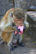SRI LANKA, Dambulla Cave Temple (Golden Temple), Macaque Monkey eating flower offerings, SLK2844JPL