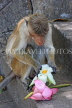 SRI LANKA, Dambulla Cave Temple (Golden Temple), Macaque Monkey eating flower offerings, SLK2845JPL