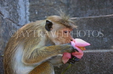 SRI LANKA, Dambulla Cave Temple (Golden Temple), Macaque Monkey eating flower offerings, SLK2847JPL