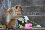 SRI LANKA, Dambulla Cave Temple (Golden Temple), Macaque Monkey eating flower offerings, SLK2848JPL