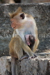 SRI LANKA, Dambulla Cave Temple (Golden Temple), Macaque Monkey with baby at site, SLK2852JPL