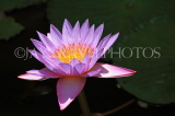 SRI LANKA, Dambulla Cave Temple (Golden Temple), Water Lily at the site, SLK2766JPL