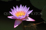 SRI LANKA, Dambulla Cave Temple (Golden Temple), Water Lily at the site, SLK2769JPL