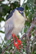 SRI LANKA, Kandy, Kandy Lake, Black Crowned  Heron, perched on tree branch, SLK3854JPL