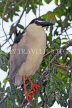 SRI LANKA, Kandy, Kandy Lake, Black Crowned Heron, perched on tree branch, SLK3843JPL