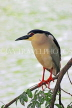 SRI LANKA, Kandy, Kandy Lake, Black Crowned Heron, perched on tree branch, SLK3852JPL