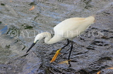 SRI LANKA, Kandy, Kandy Lake, Egret, fishing, SLK3845JPL