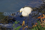 SRI LANKA, Kandy, Kandy Lake, Egret, fishing, SLK3849JPL
