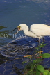 SRI LANKA, Kandy, Kandy Lake, Egret, fishing, fish in beak, SLK3847JPL