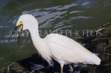 SRI LANKA, Kandy, Kandy Lake, Egret, fishing, swallowing fish, SLK3848JPL