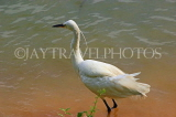 SRI LANKA, Kandy, Kandy Lake, Egret, looking for fish, SLK3914JPL